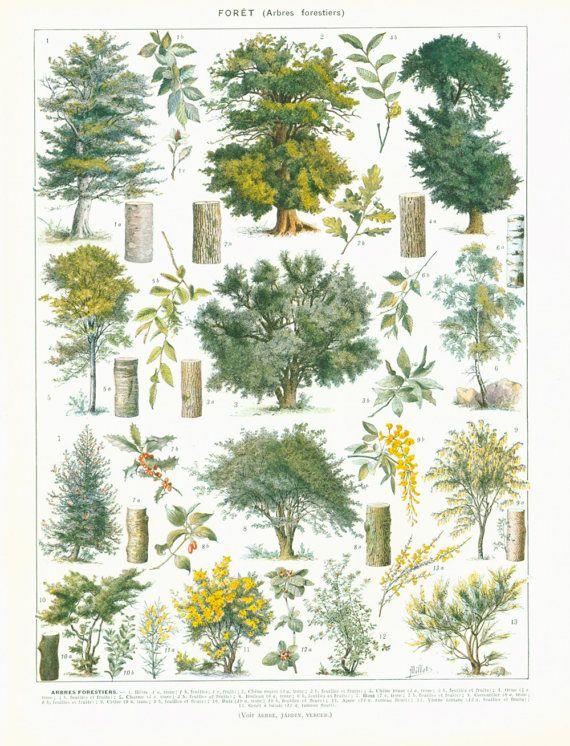 1933 Vintage Trees Print Deciduous Hardwood Antique Botanical
