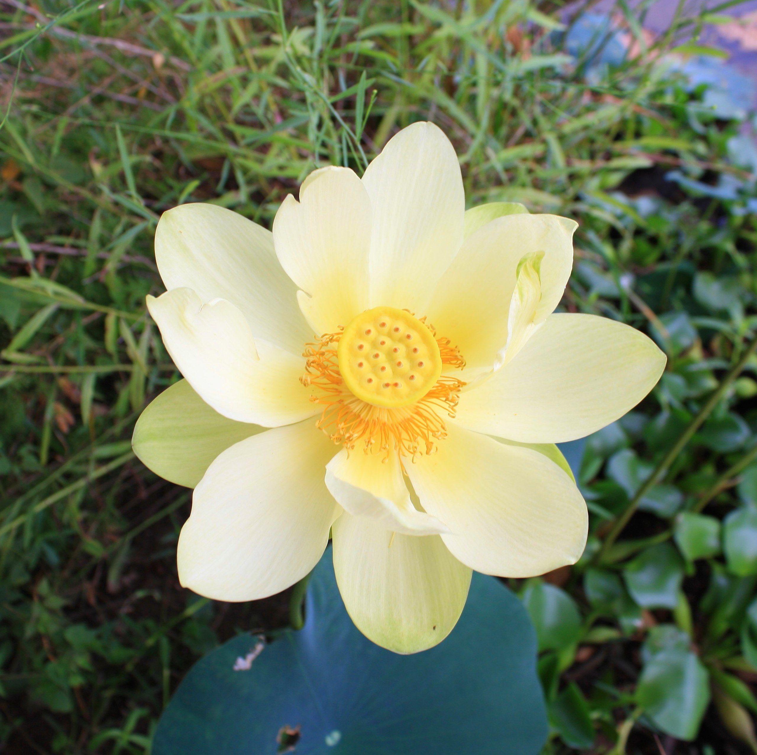 American Lotus Nelumbo Lutea 01 Nelumbo Lutea Wikipedia
