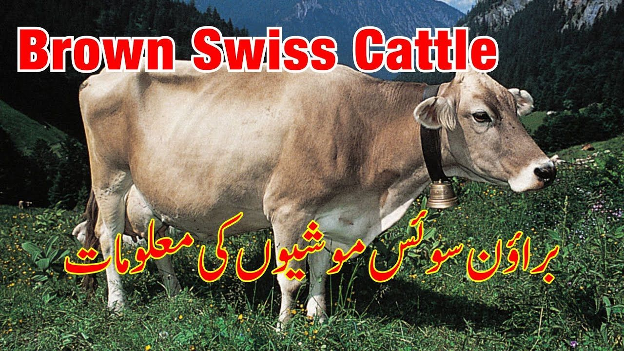 Brown Swiss Cattle Physical Characteristics Brown Swiss Cow Ki Pehchan Cattle Cow Bull