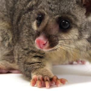 How To Get Rid of Possums in Your Home Pestrol Australia