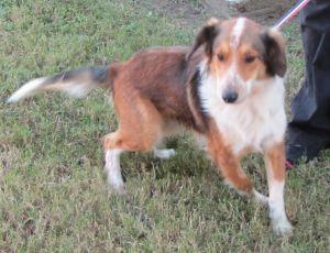 CL-CPAS sheltie mix: Shetland Sheepdog Sheltie, Dog; LaPorte, TX