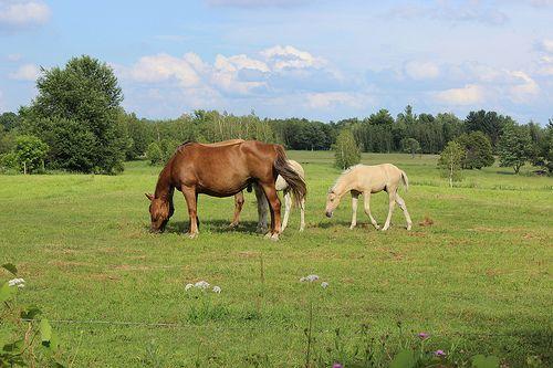 Horses grazing - http://www.1pic4u.com/blog/2014/09/21/horses-grazing/