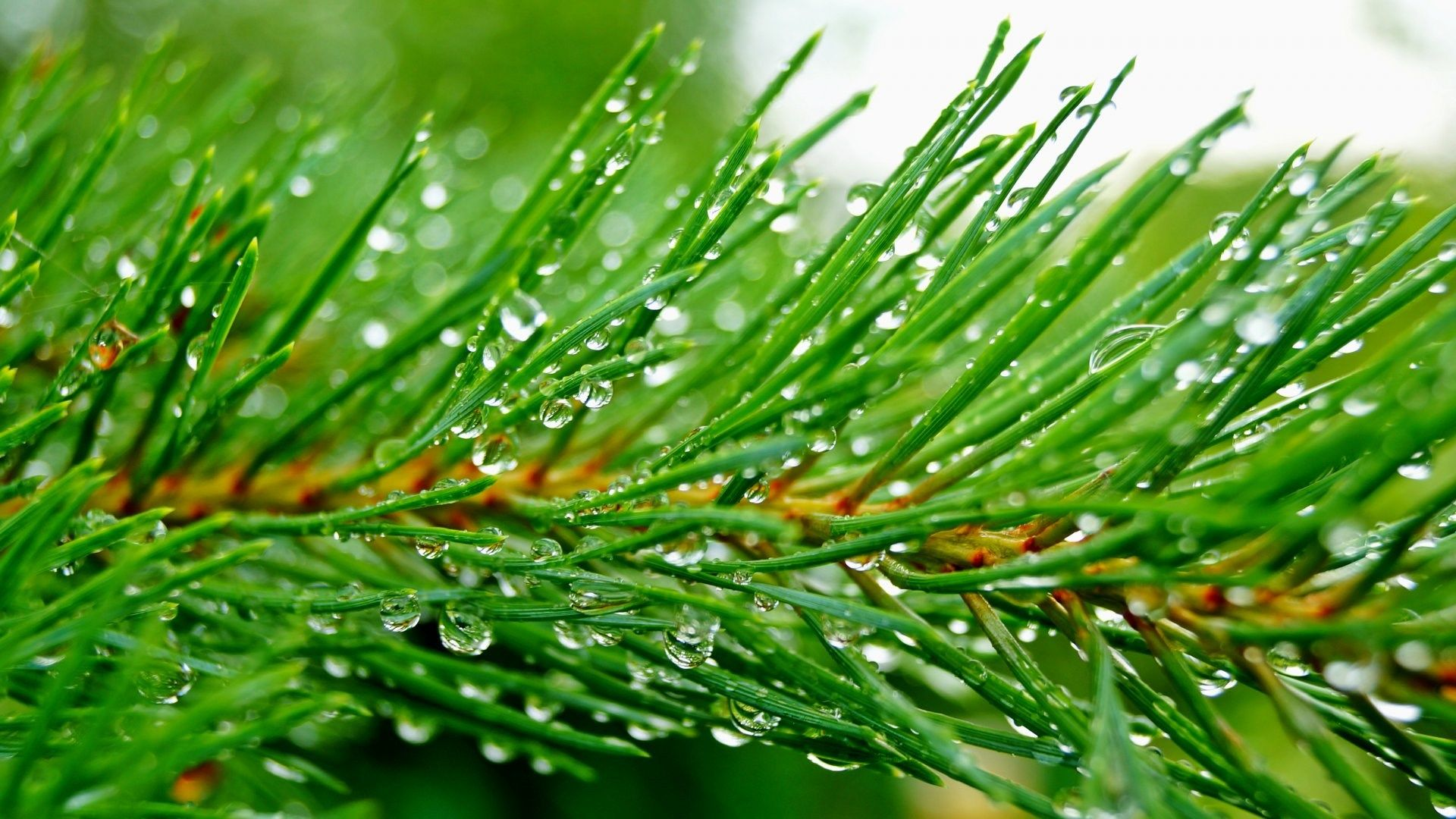 free green backgrounds Herbs, Tree wallpaper, Pine branch