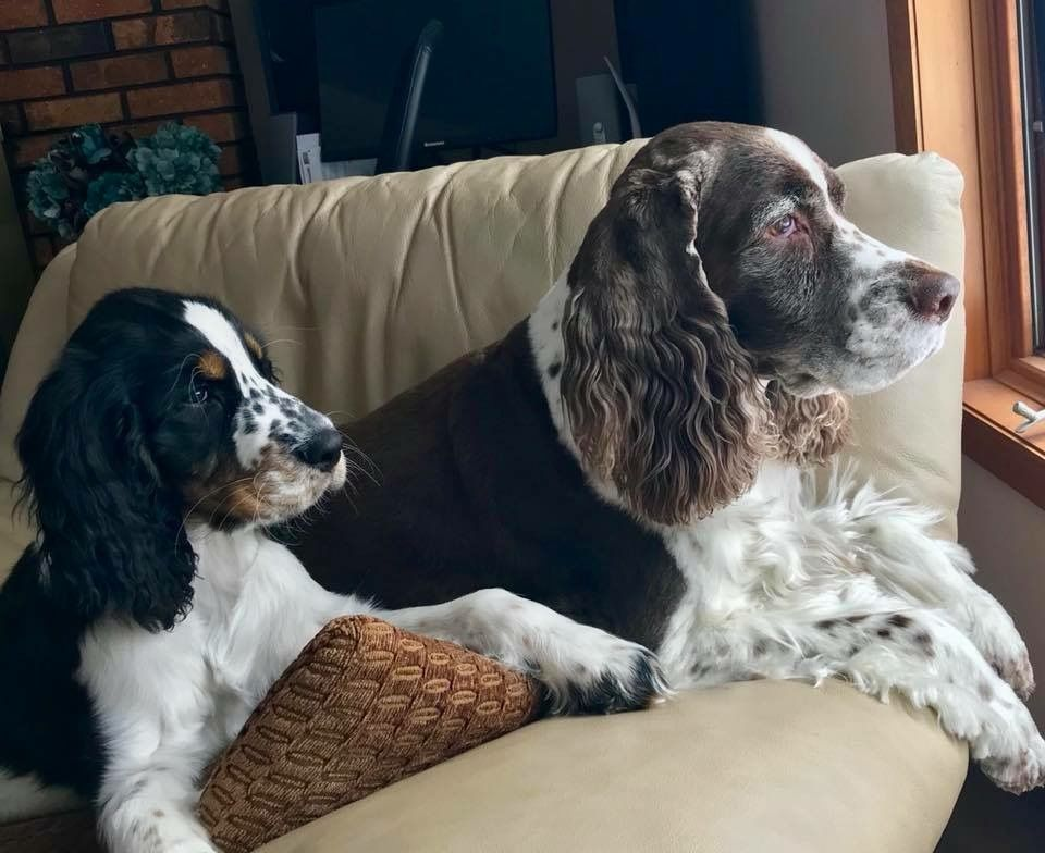 Pin By Amy Malone On I Love Springer Spaniels English Springer Spaniel Field Spaniel Springer Spaniel