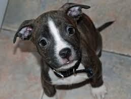Image Result For Chipit Pitbull Chihuahua Mix Chihuahua Mix