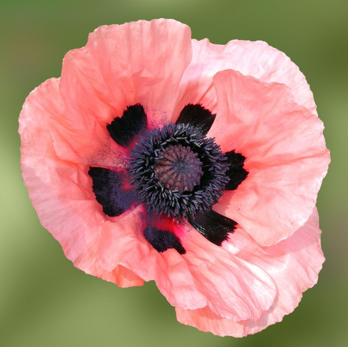 20 Black Flowers And Plants To Add Drama To Your Garden: Oriental Poppy ( PAPAVER ORIENTALES ) 'Queen Alexandra
