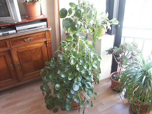 perfect houseplant the chinese money plant pilea peperomioides plants in the home. Black Bedroom Furniture Sets. Home Design Ideas