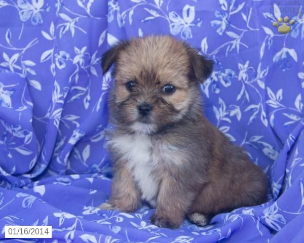 Abby Morkie Puppy For Sale In Holmesville Oh Morkie Puppies Morkie Puppies For Sale Puppies For Sale