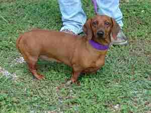 Candy Is An Adoptable Dachshund Dog In Aurora Il Candy Is A 4