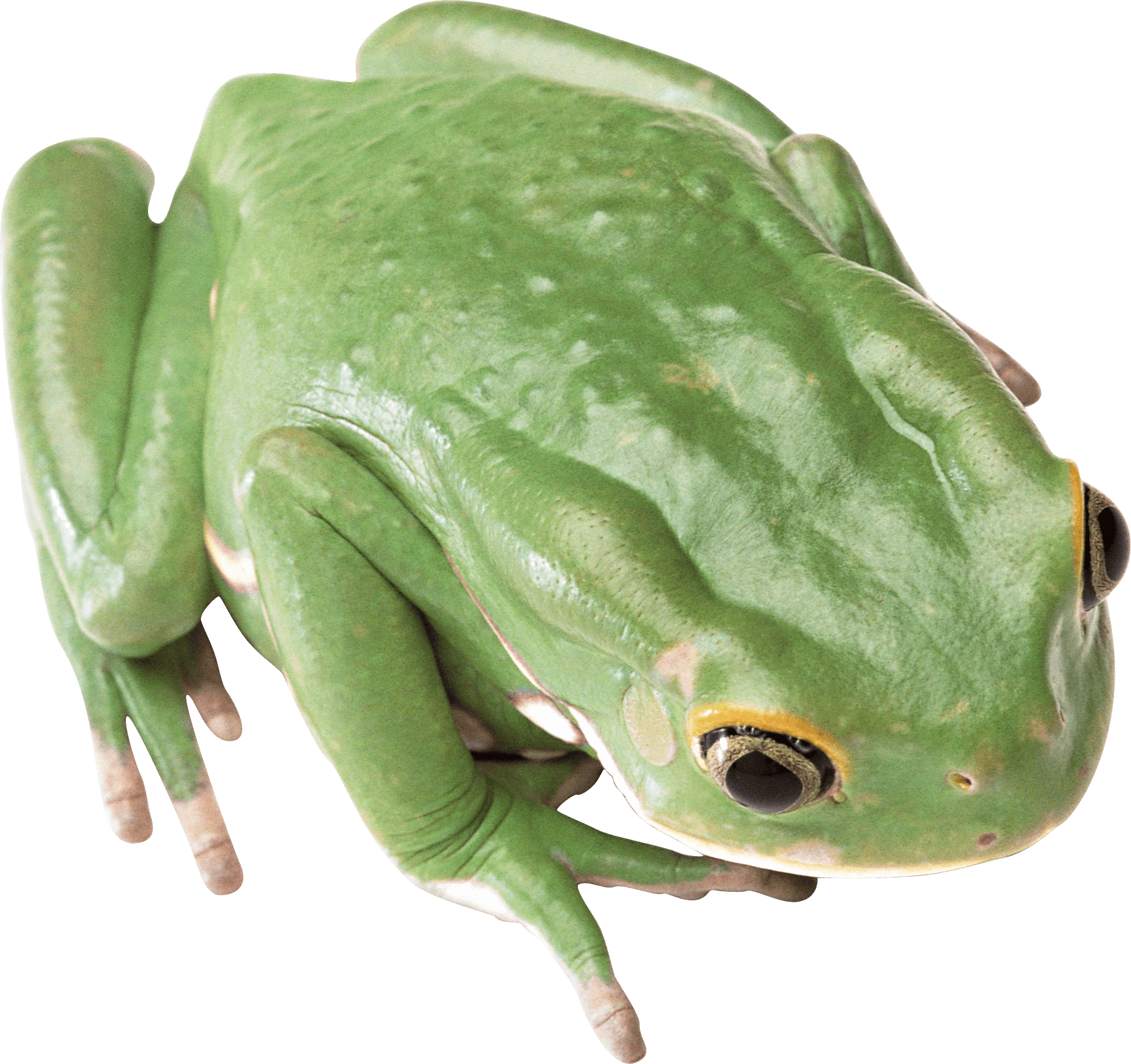 Green Frog Png Image Frog Png Tree Frogs