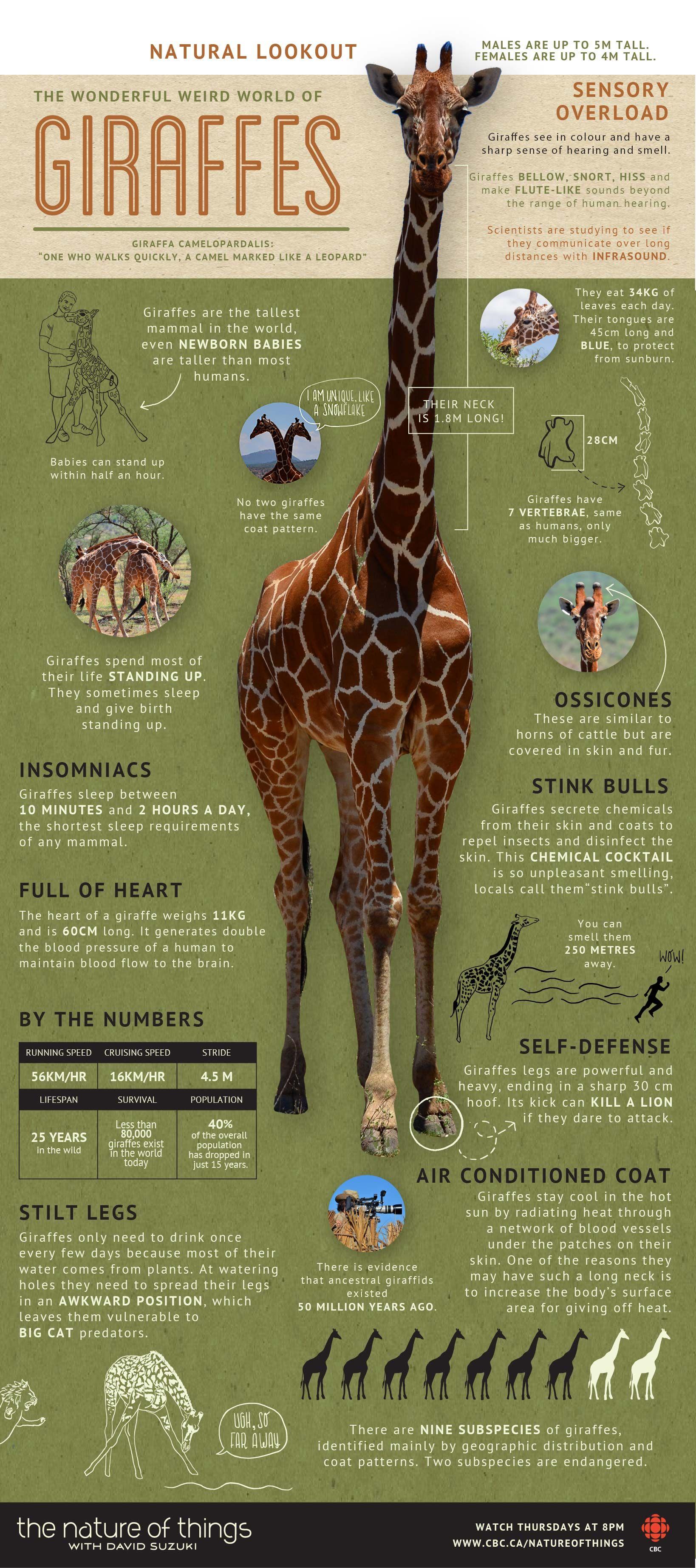 The Wonderful Weird World Of Giraffes