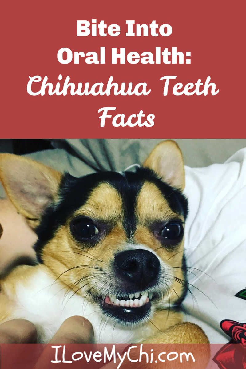 Pin On Chihuahua Health