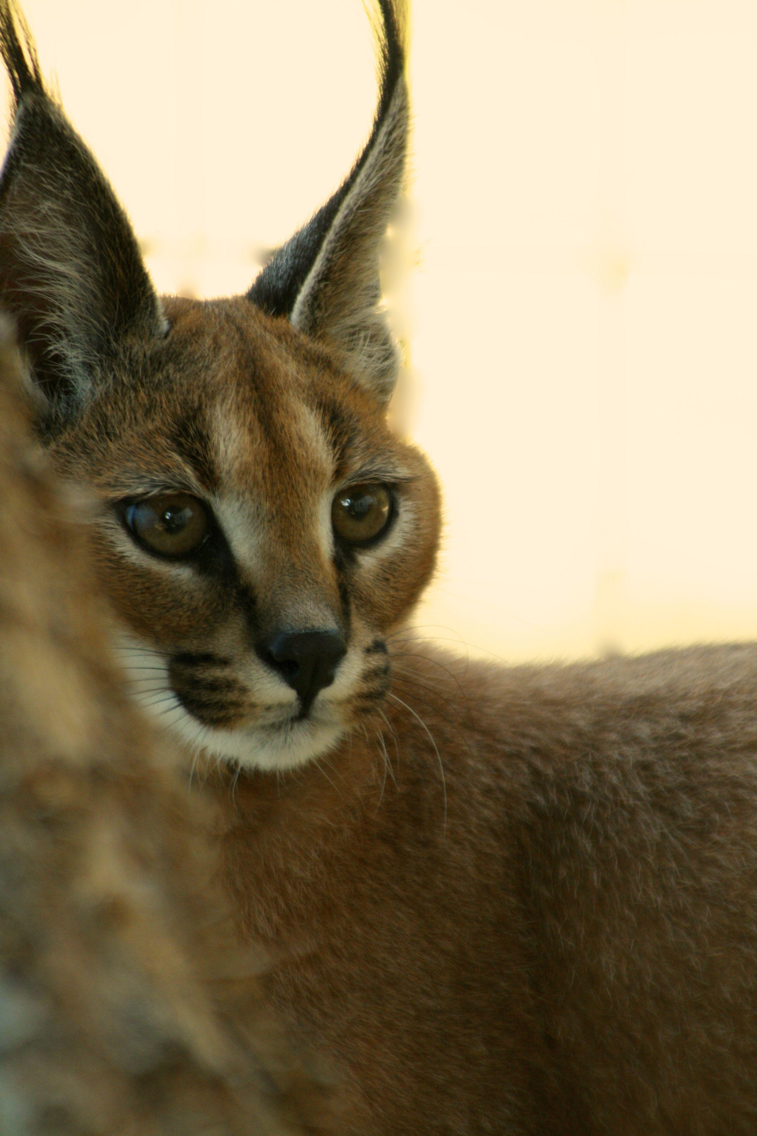 Caracals Great Cats World Park In 2020 Caracal Cat Caracal Cat Pet Great Cat