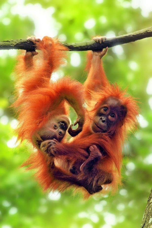 Baby Orangutans (Pongo) - Loved and repinned by www.evolationyoga.com