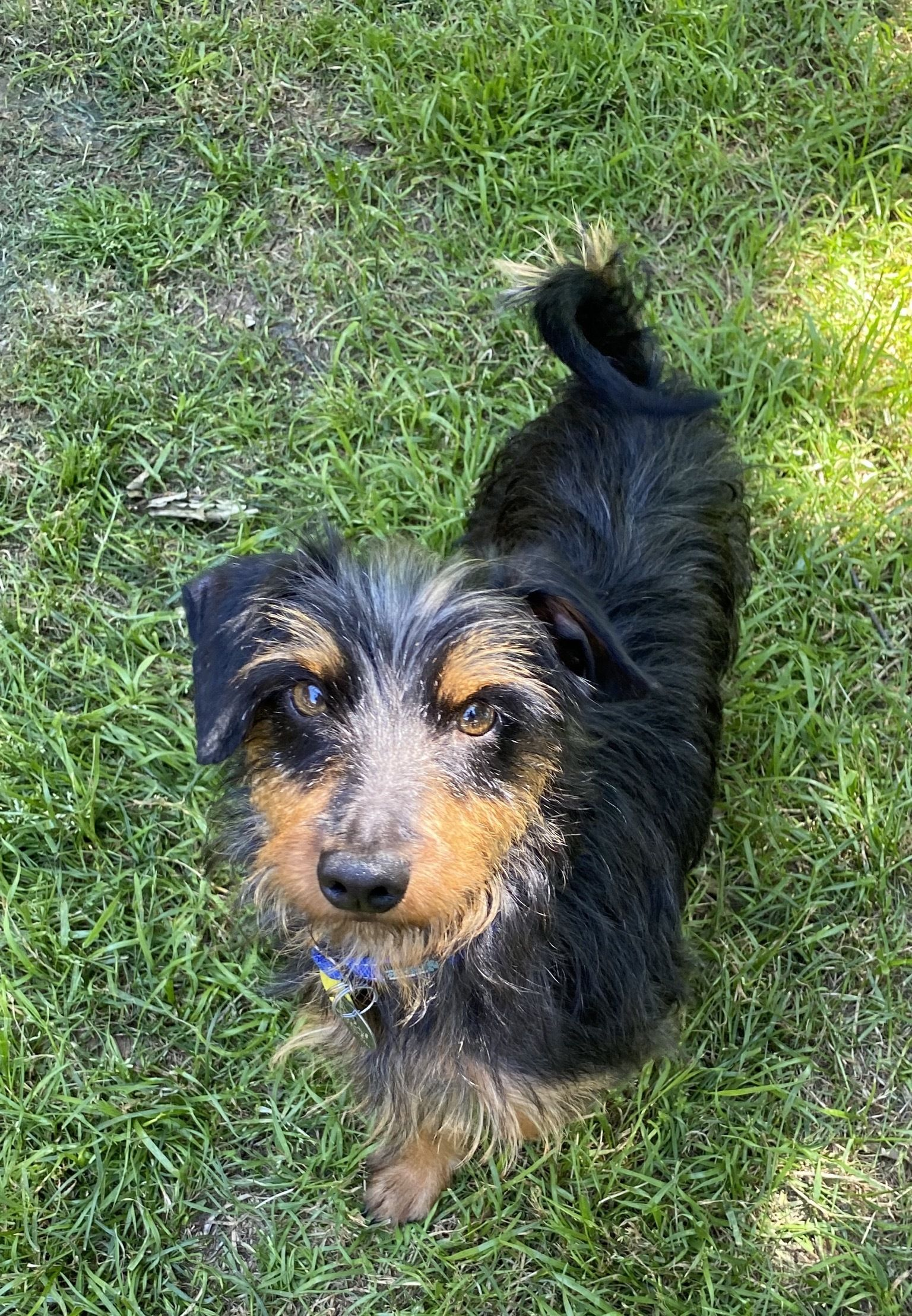 Thomas Is An Adoptable Wirehaired Dachshund Searching For A