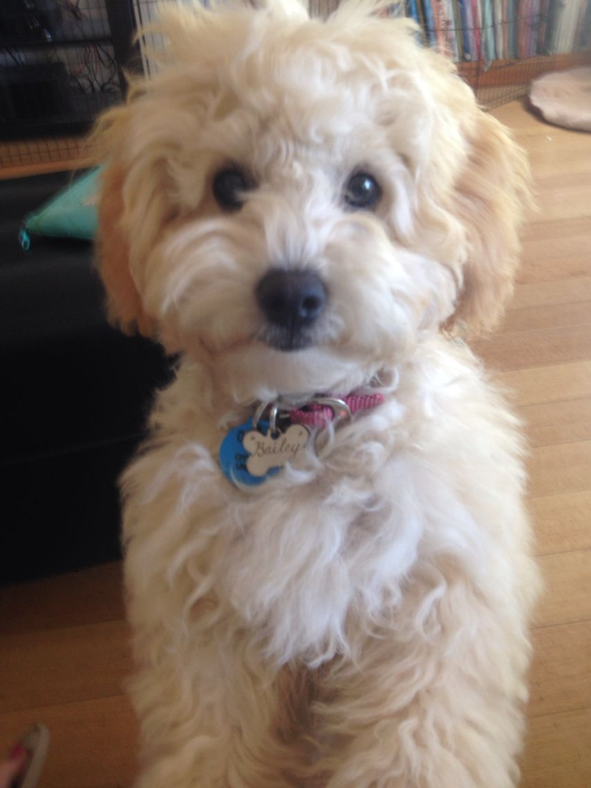Bailey The Apricot Toy Cavoodle Adorable Puppy Cavoodle Cavapoo Doodle Dog Dog Love Cute Animals