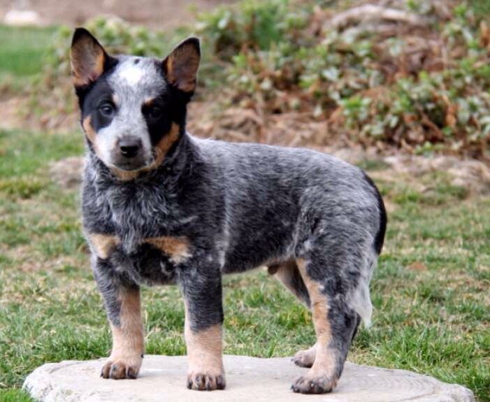 Pin By Chili Dog On Heelers Heeler Puppies Blue Heeler Puppies Australian Cattle Dog