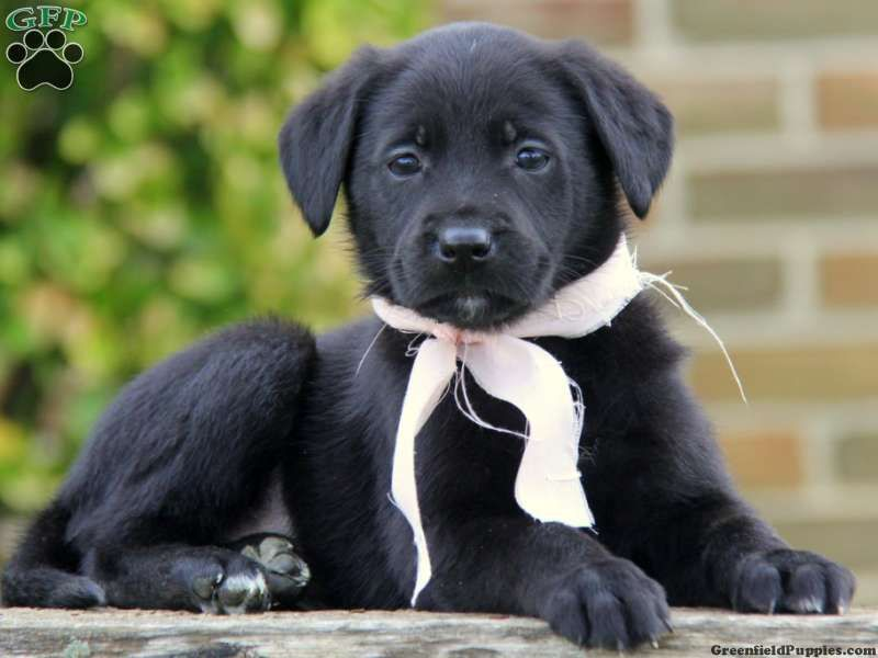 German Sheprador Puppies For Sale In Pa Puppies For Sale