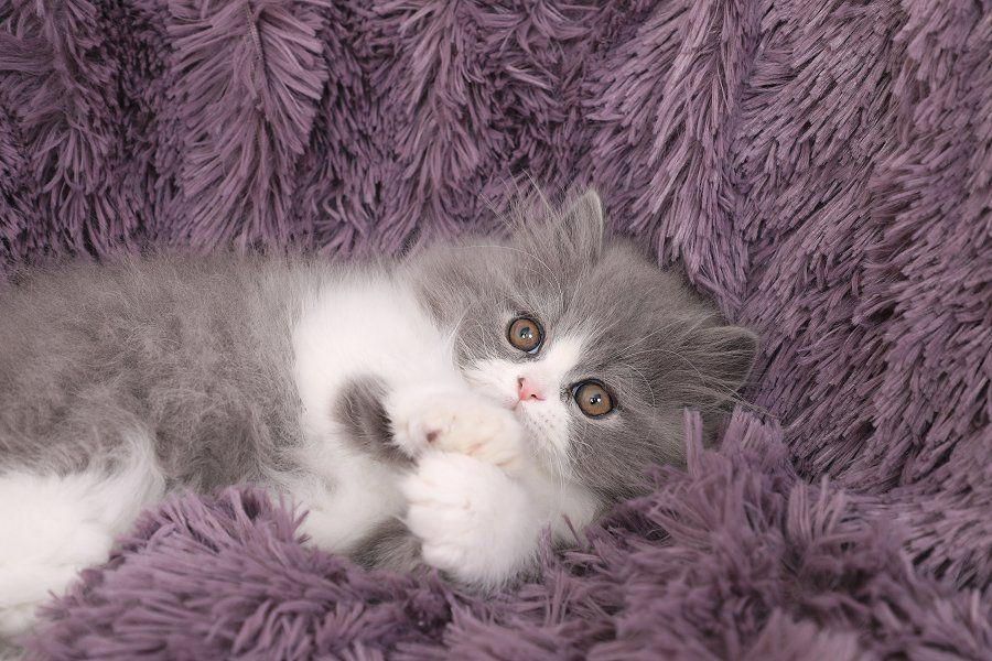 Persian Kittens For Sale Downy Persian kittens for