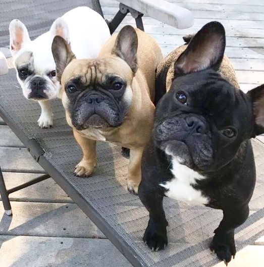 """3 vary Black//White FRENCH BULLDOGS SITTING .12 identical 6/""""Fabric Squares-SEW"""