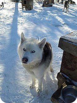 Cavan On Siberian Husky Mix Meet Gunnar A Dog For Adoption