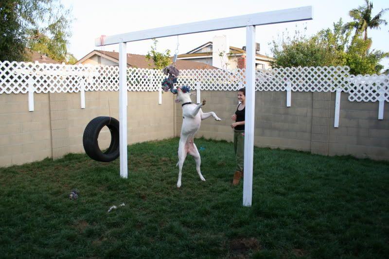 Flirt poles and spring poles - BulldogBreeds.com Forums ...