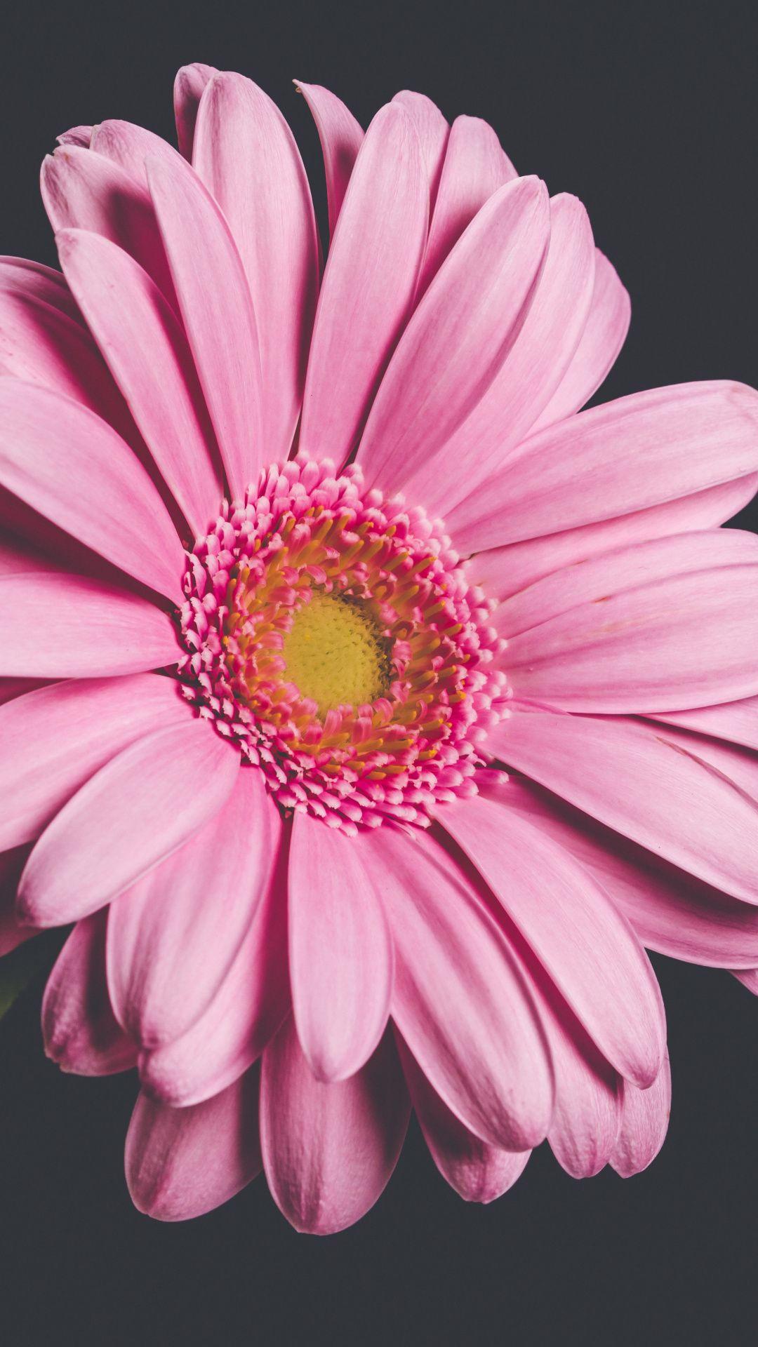 1080x1920 Pink Gerbera Flower Close Up Wallpaper Pink Gerbera Gerbera Flower Close Up