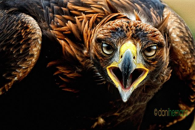 AGUILA REAL AGRESIVA. Angry golden eagle © Daniel Hernanz. All Rights Reserved in all my pictures. More pictures at https://500px.com/danihernanz https://www.flickr.com/photos/danihernanz/ http://cargocollective.com/DanielHernanz