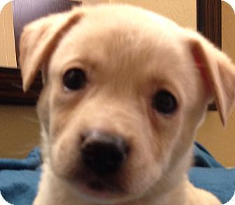 La Mirada, CA - Labrador Retriever/Golden Retriever Mix. Meet Leo a Puppy for Adoption.