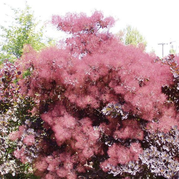 Pin By Christine Bowen On Smoke Trees Smoke Tree Plants Tree Seeds