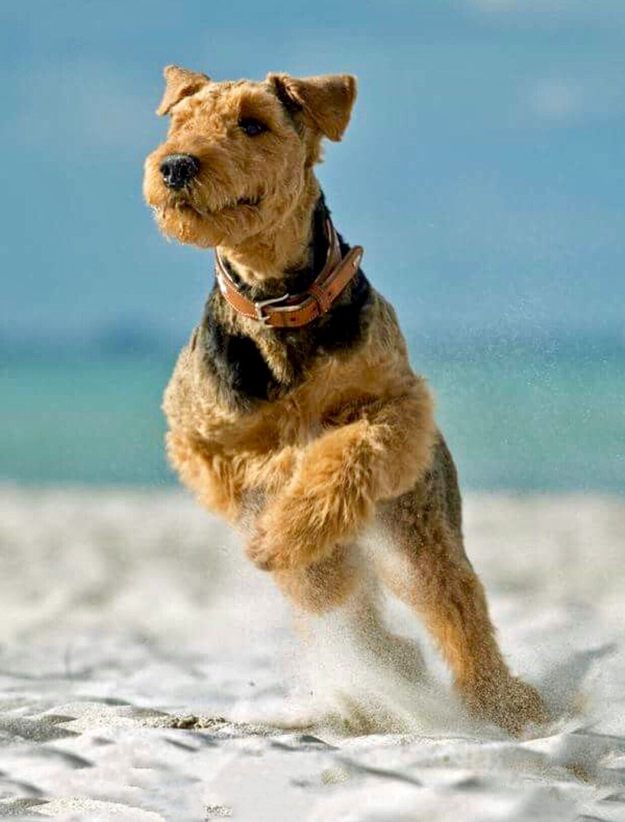 Airedale Terrier Dog Breed Information, Popular Pictures