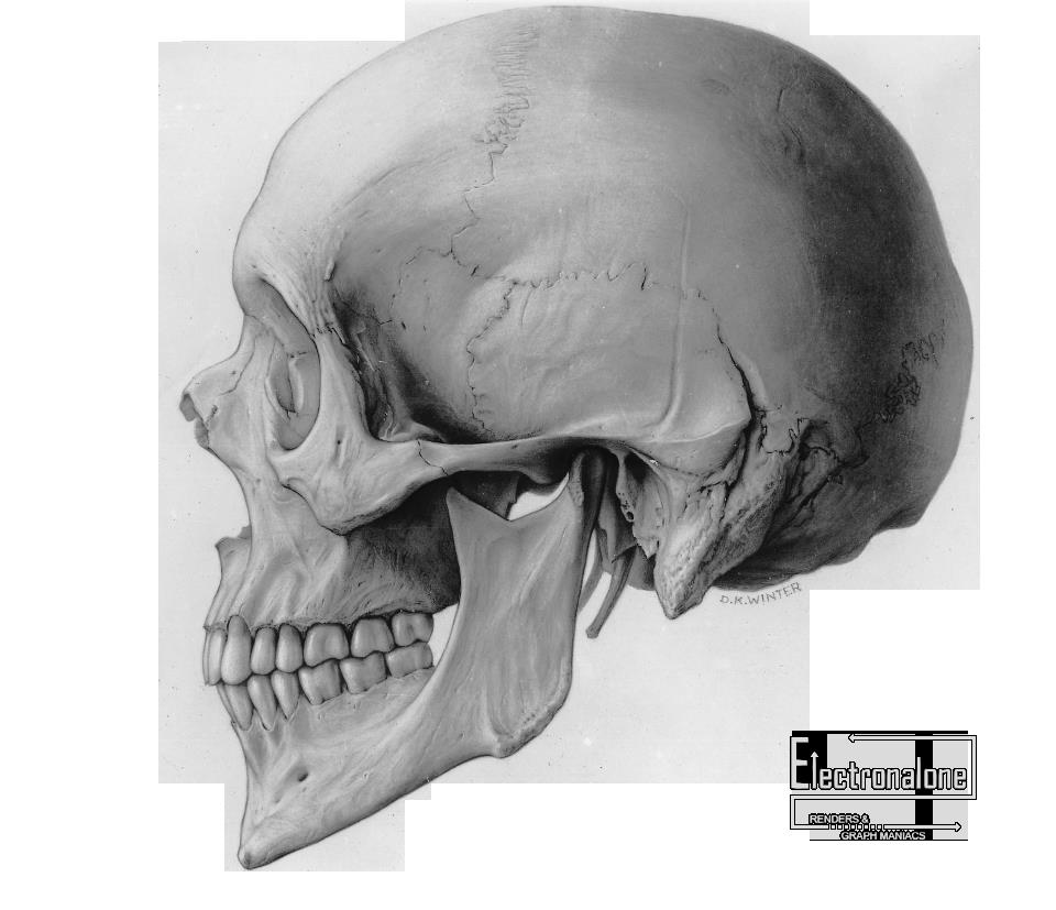 Render Autres/Inconnu - Renders crane humain ossement ...