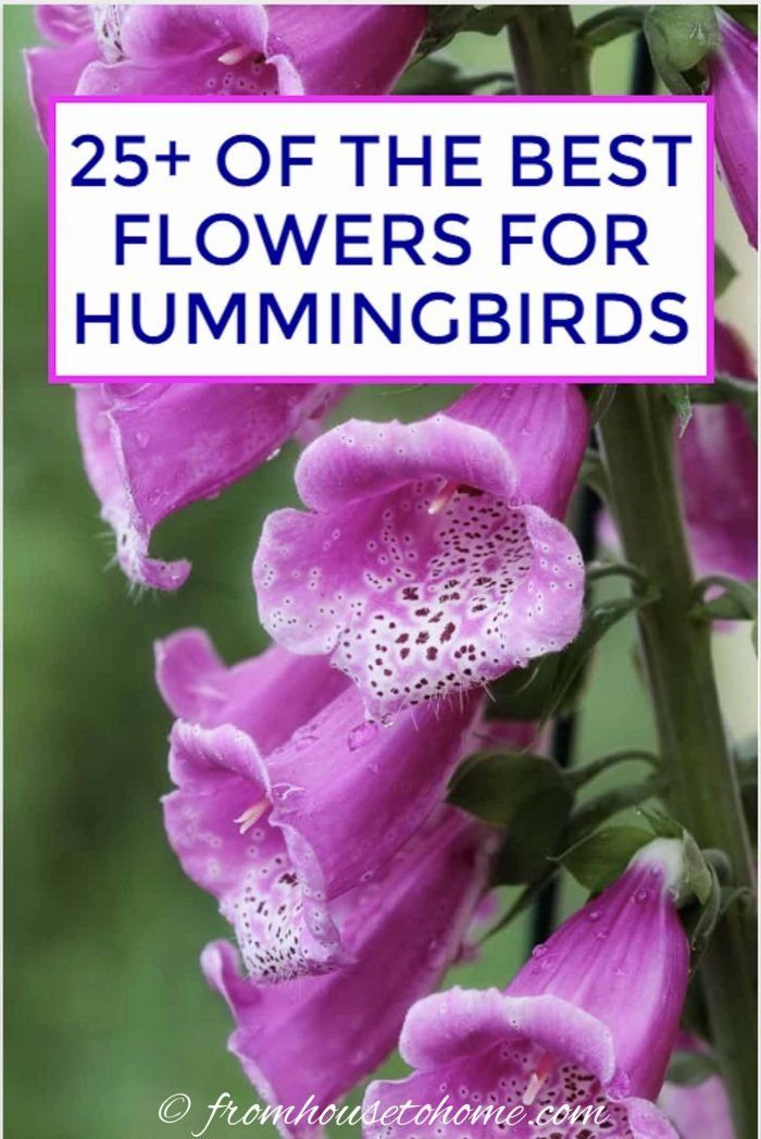 Hummingbird Plants: 25+ Of The Best Flowers That Attract Hummingbirds - Gardening @ From House To Home