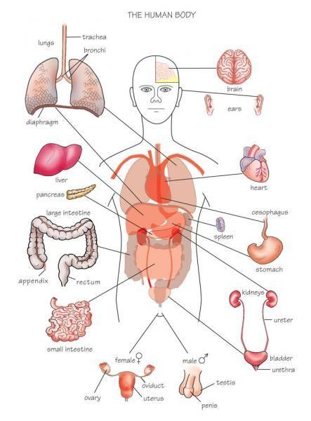 Vital organs diagram httpsdyxtvital organs diagramml diagram vital organs ccuart Images