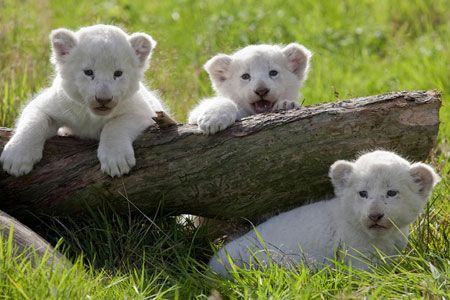 Phoebe Pandora And Portia White Lions Born In Bewdley Worcestershire White Lion Lion Cubs Playing Animals