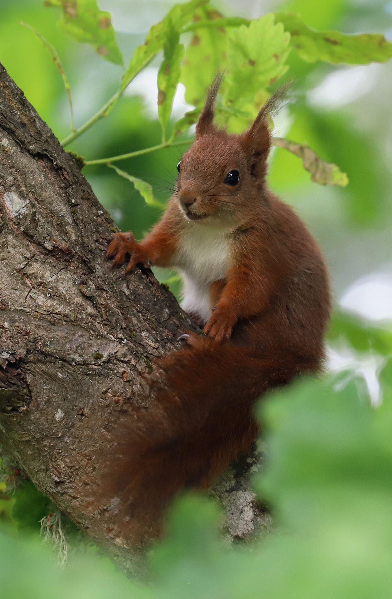 ภเгคк ค๓๏ Eichhörnchen, Eichhörnchen bilder