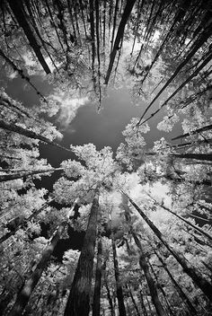 looking up at trees black and white - Google Search
