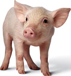 Pig Png Image Pig Animals Pet Pigs