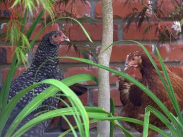 Hanging with the Chickens | Urban Fringe Living