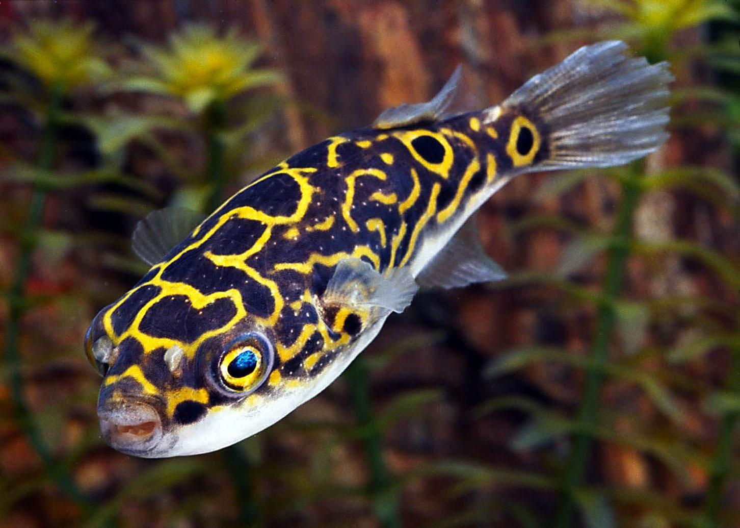 The Figure Eight Puffer Aquarium Fish Puffer Fish Live Aquarium Fish