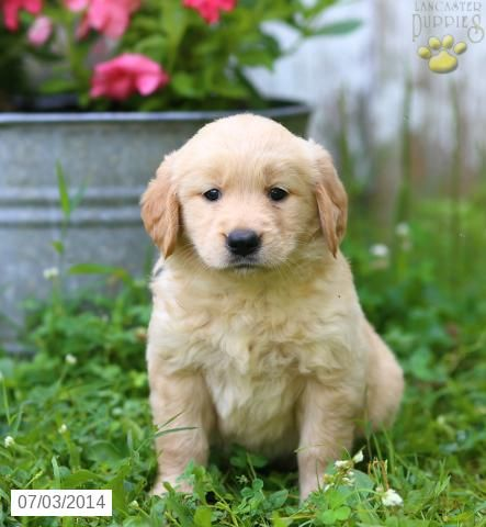 Golden Retriever Puppy For Sale In Pennsylvania Puppies For Sale