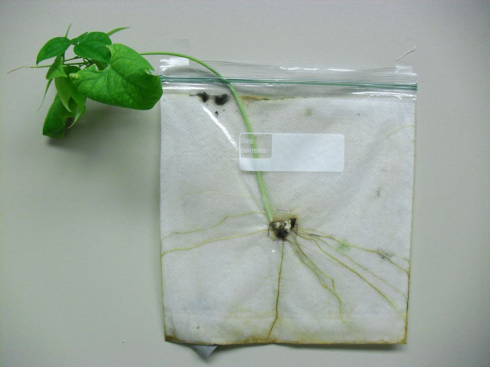 Growing a Bean in a Bag Or  How to Train Your Plant. Growing a Bean in a Bag Or  How to Train Your Plant   Crafts and