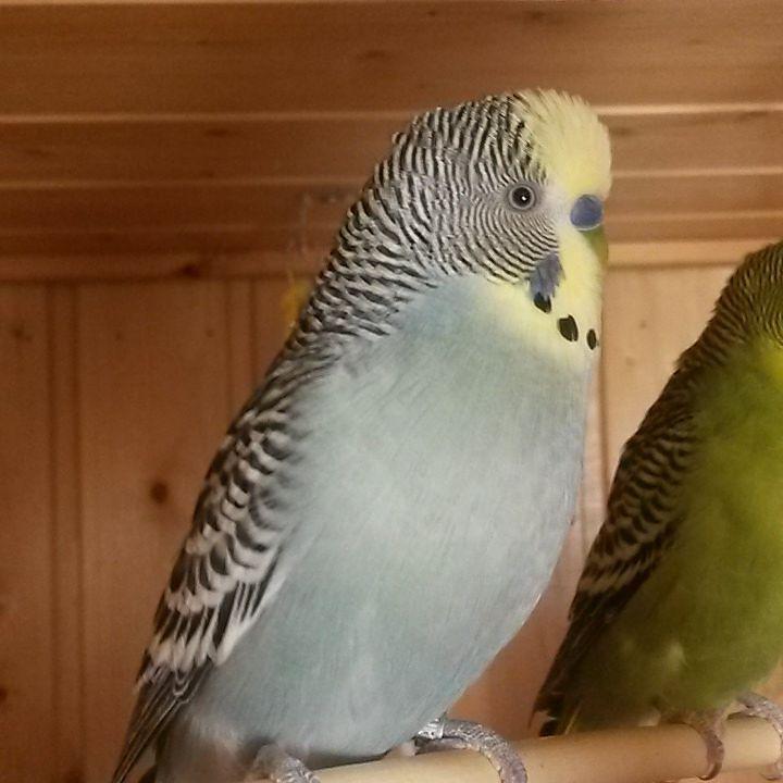 Gräsersorten parrotsofig parrots parrot budgerigars budgerigar budgies