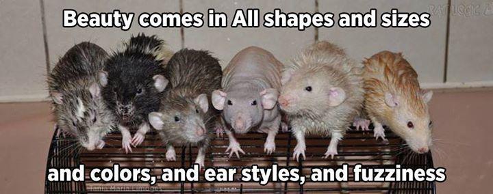 Rat Logic Timeline Photos Facebook Pet Rats Cute Rats Rats