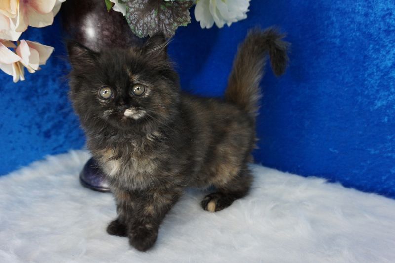 Haley Black Calico Solid Ragamuffin Cat Kitten From Www Ragdollkitten Us Ragamuffin Cat Ragdoll Kittens For Sale Cats And Kittens