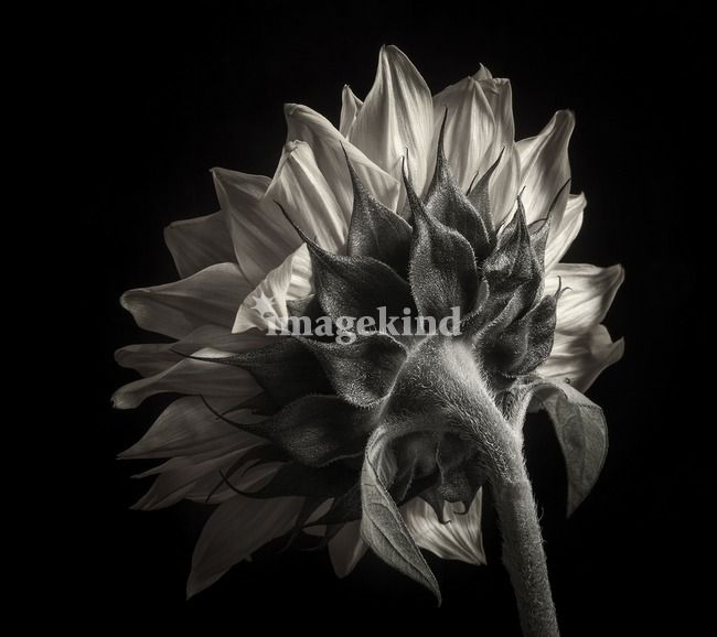 Sunflower study in black and white iii by dawn leblanc