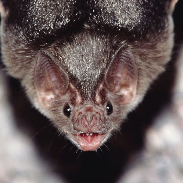Bats Are The Only Animals That Can Fly But Vampire Bats Have An