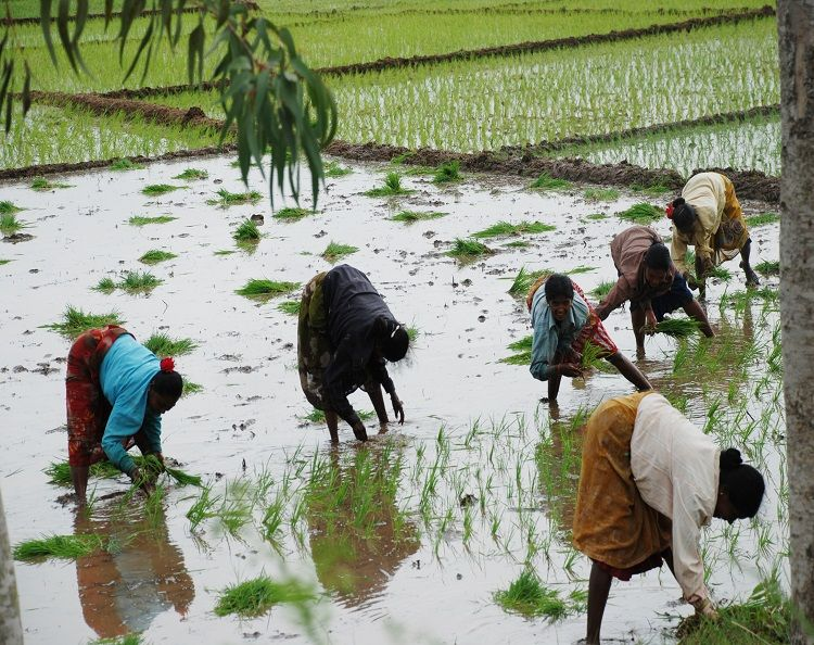 Rice Crop Cultivation in India - A Production Update | Rice crop ...