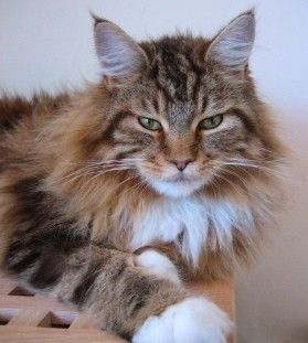 Maine Coon Cat...my newest little (HAH!) love.  Another very sweet natured kitty. http://media-cache4.pinterest.com/upload/230035493436282020_aFJI5wYZ_f.jpg anna_absher cat love