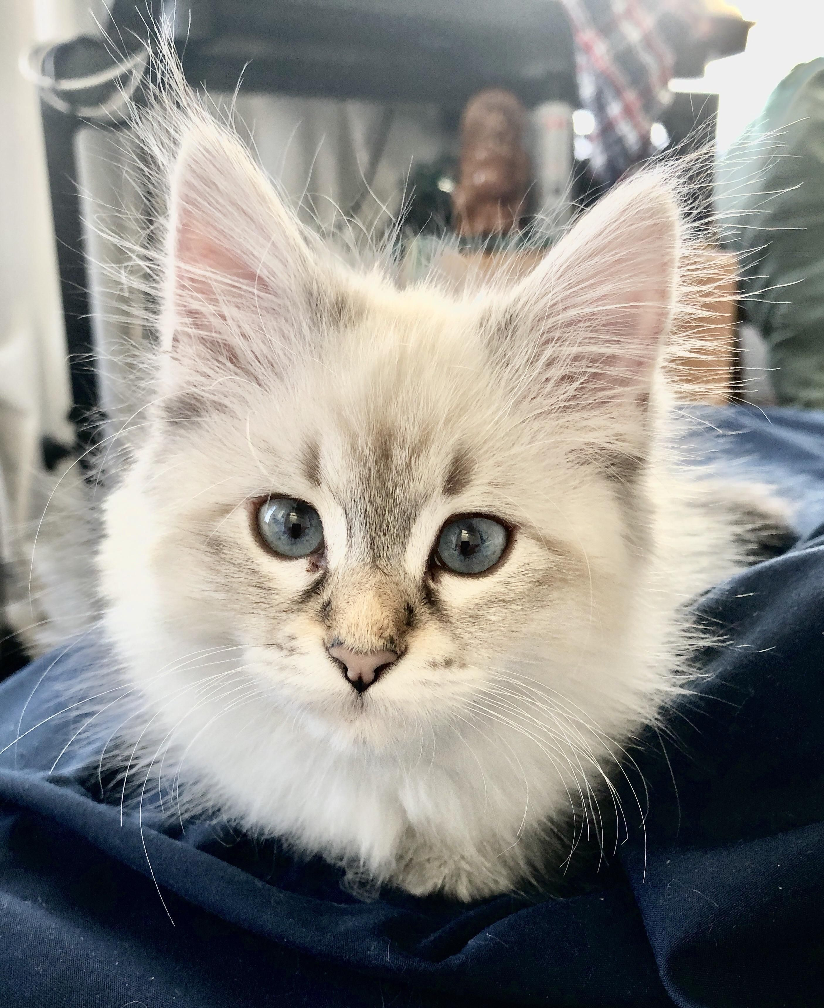 Reddit Meet Blue The Kitten Id Never Thought Wed Get Because Were Allergic Turns Out Siberians Really Are Hypoallergenic Kittens Allergic To Cats Cats Knead